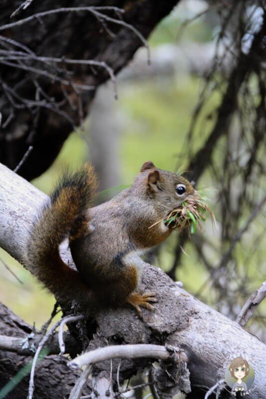 Ein Eichhörnchen in Kanada