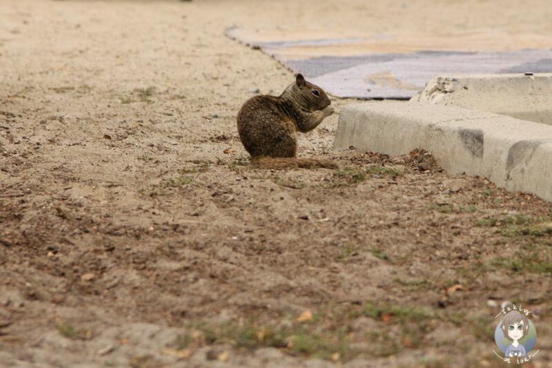 Eichhörnchen am Doheny Beach