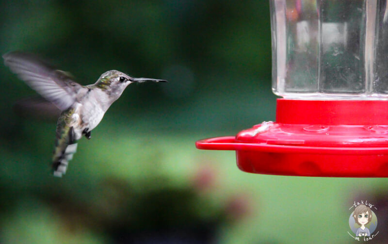 Hummingbird an einer Zuckerstation