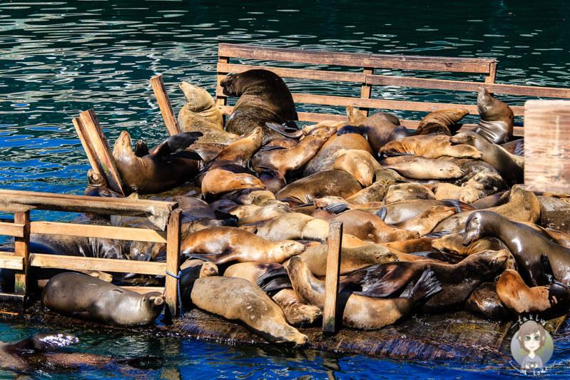 Seelöwenplattform in Monterey