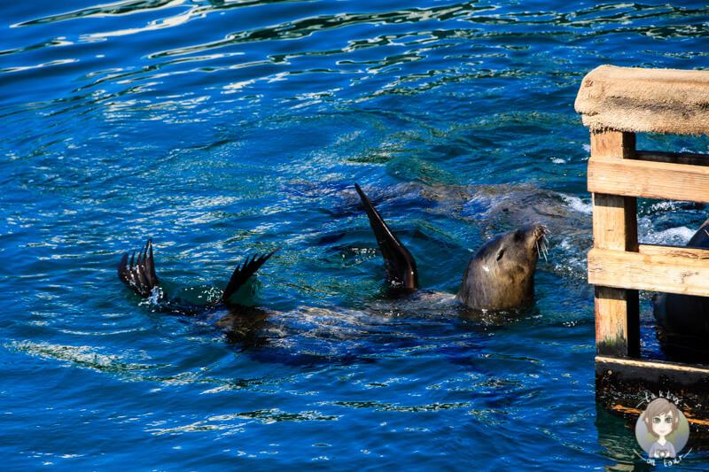Seelöwen in Monterey