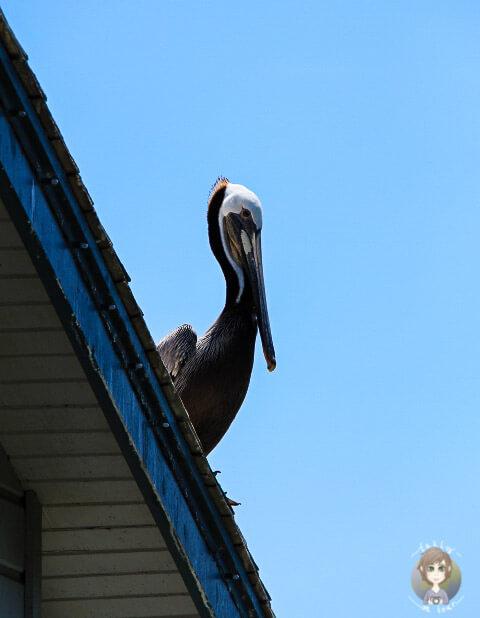 Pelikan auf dem Hausdach