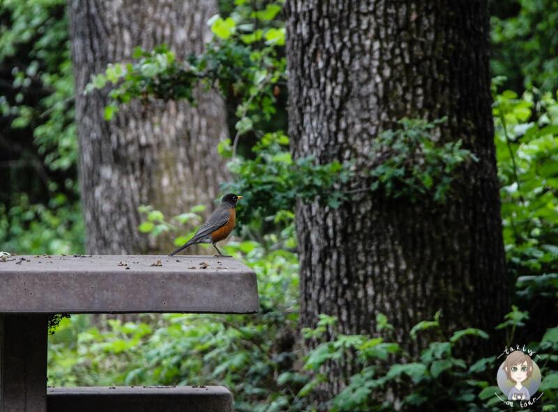 Vogel auf einem Tisch in Roseburg