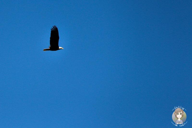 Weißkopfseeadler Vancouver