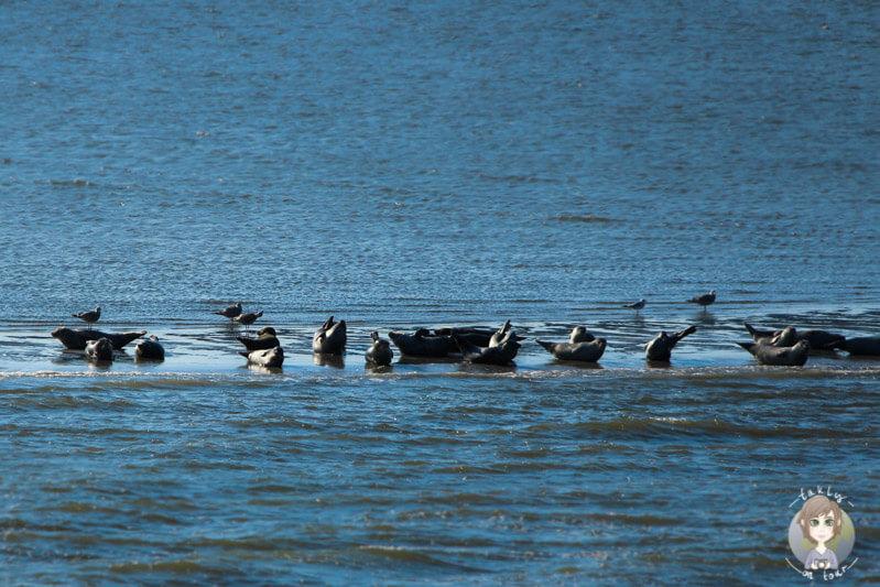 Seehunde auf einer Sandbank in der Nordsee