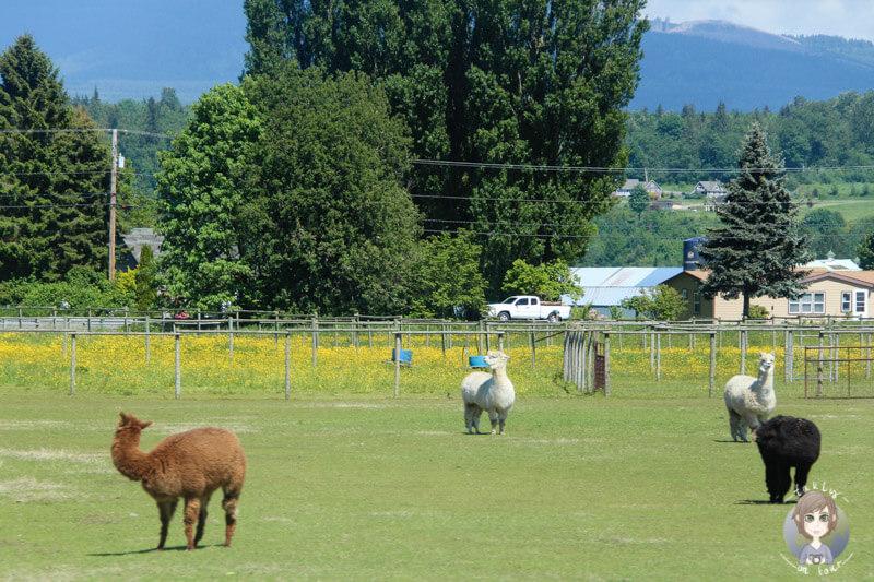 Eine Alpakafarm