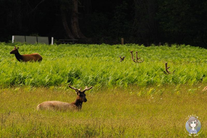Hirsche im Elk Prairie State Park