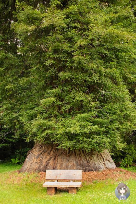 Redwood im Elk Prairie State Park