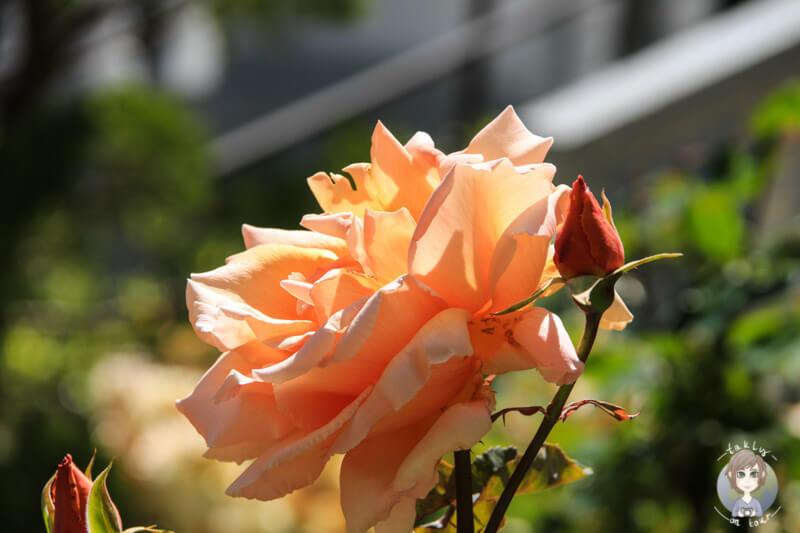 Rose in San Francisco