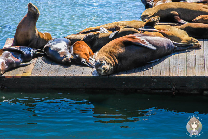 Sealion in San Francisco
