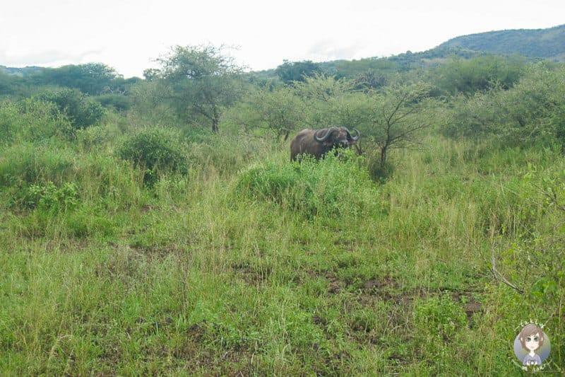 Ein Büffel im Tsavo Nationalpark in Kenia