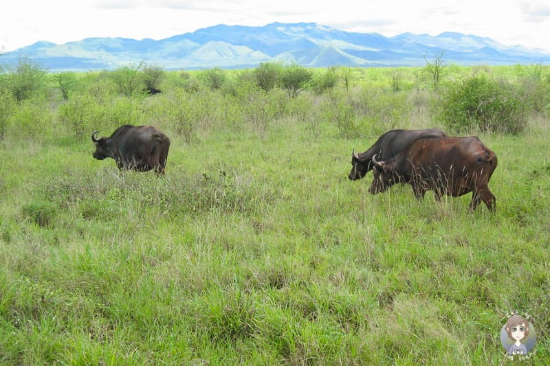 Eine Büffelherde in Kenia
