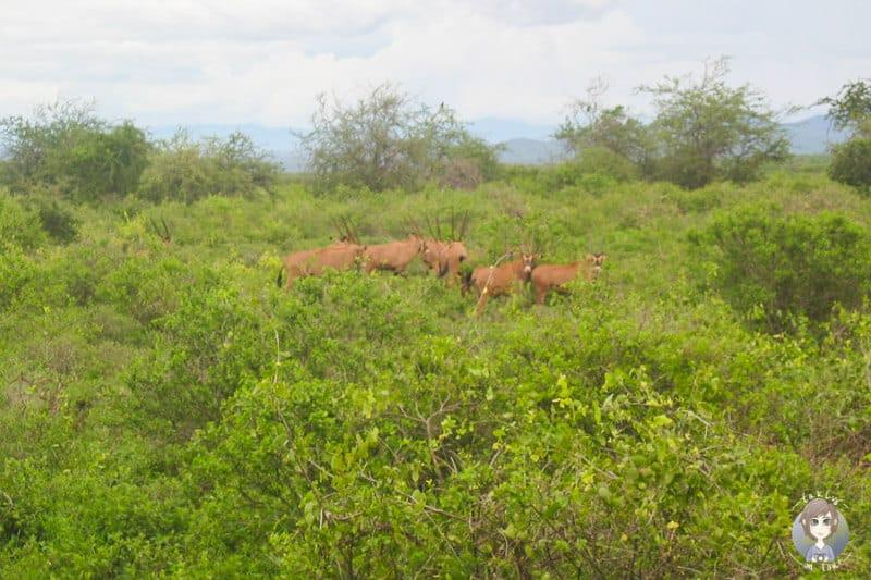 Gazellen auf unserer Kenia Safari