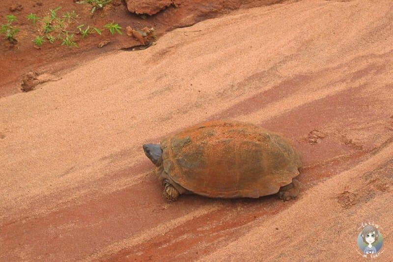 Eine Schildkröte überquert die Straße im Tsavo Nationalpark