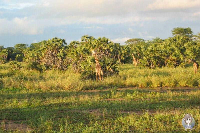 Giraffen am Morgen auf der Pirsch