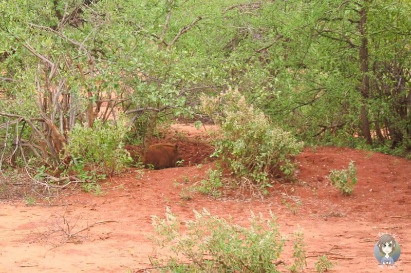 Ein Warzenschwein im Gebüsch