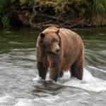 Tiere in Alaska: Ein Ausflug in die Tierwelt
