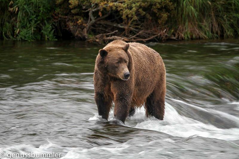 Ein Grizzlybaer auf Lachsfang in Alaska Tierbeobachtung in Alaska