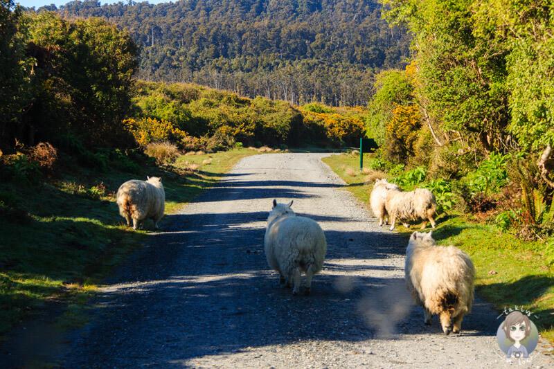 Schafe auf der Gillespies Beach Road