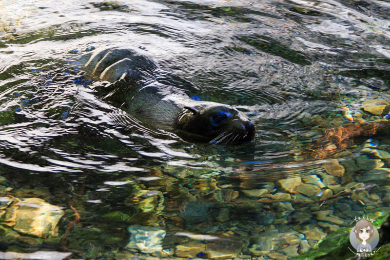 Seelöwe im Wasser, Kaikoura