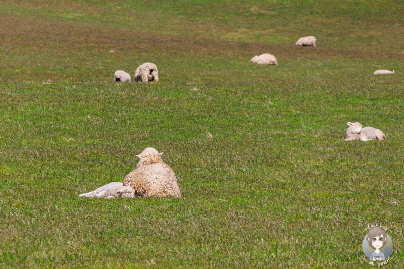 Schafe in Neuseeland