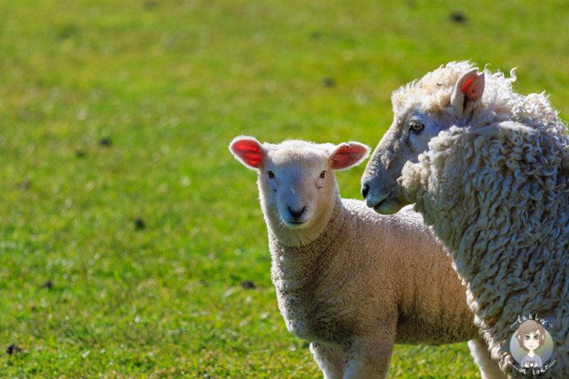 Schafe in Neuseeland, Region Catlins