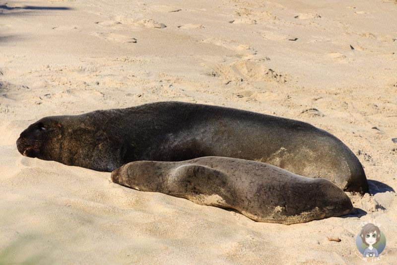 Sea Lion am Waipapa Point, Catlins