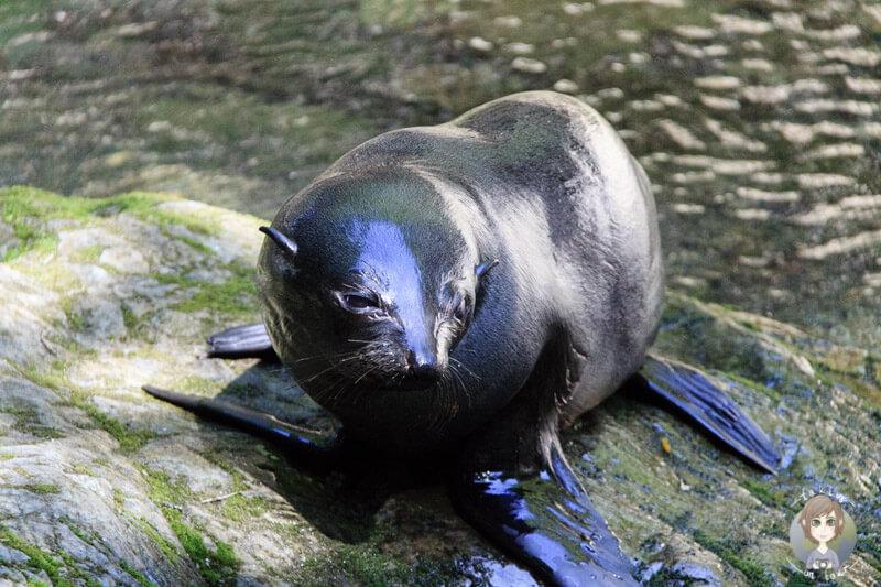 Eine Robbe am Ohau Stream