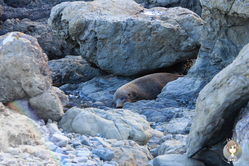 Ein schlafender Sealion am Paparoa Point, Marlborough (4)