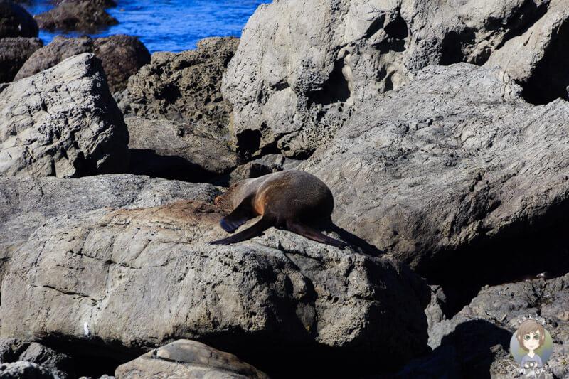 Beobachtung der Seelöwen beim Frühstück am Paparoa Point
