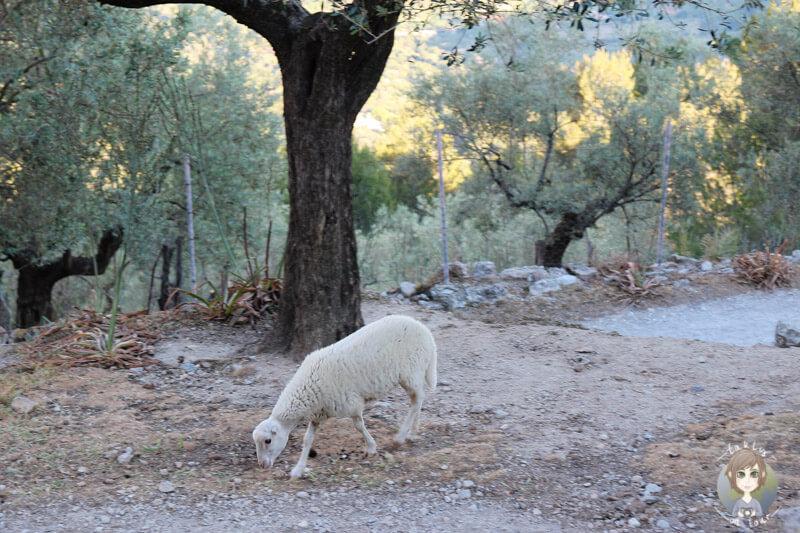 Ein Lamm auf dem Parkplatz vom Es Verger