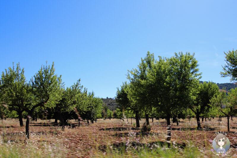 Kleine Bäume in landesinneren von Mallorca