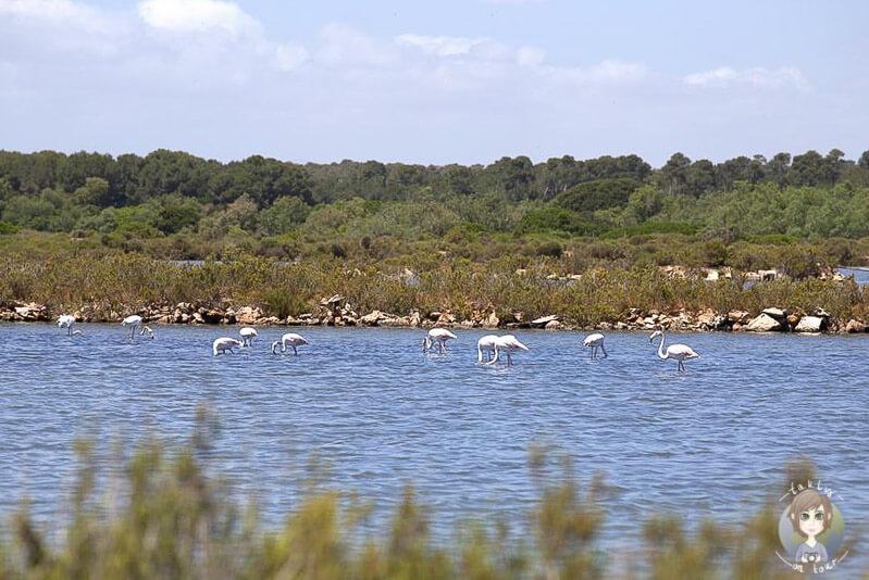 Flamingos nahe der Salines d´Es Trenc, Mallorca