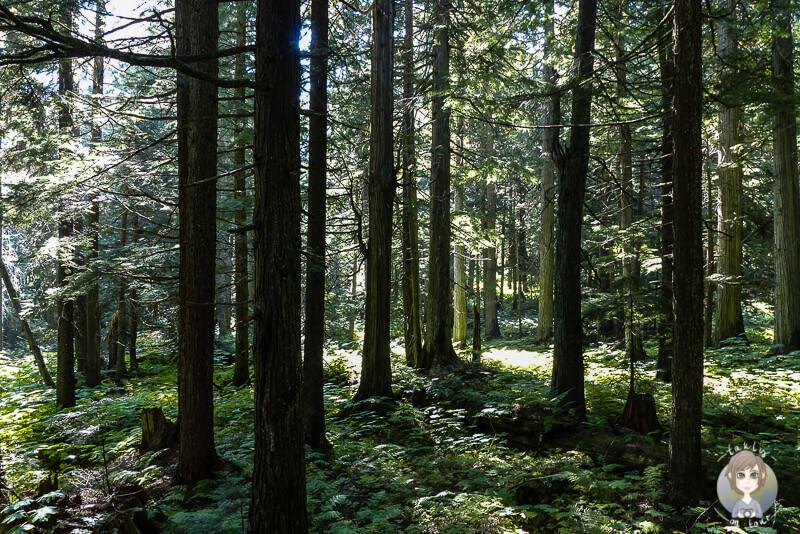 Auf dem Hemlock Grove Trail mitten im Wald, BC, Kanada