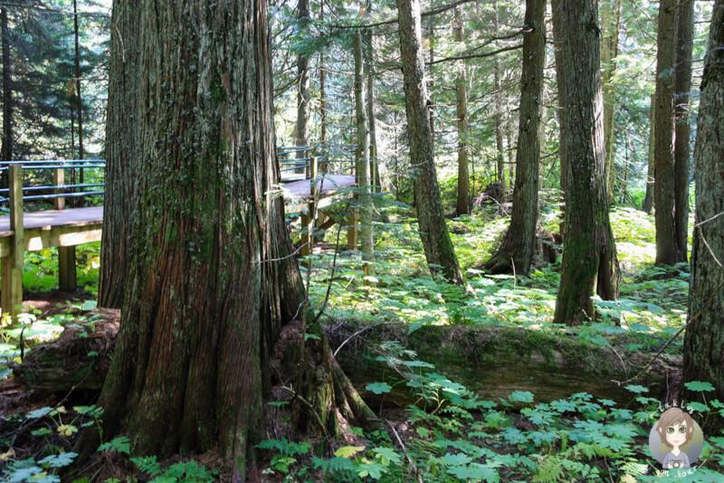Der Boardwalk des Hemlock Grove Trail, BC, Kanada