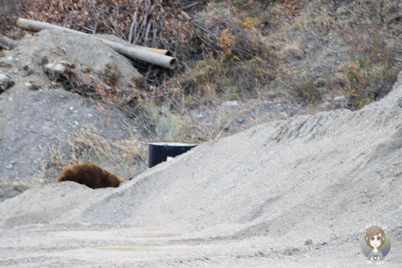 Bär in Lillooet, Kanada