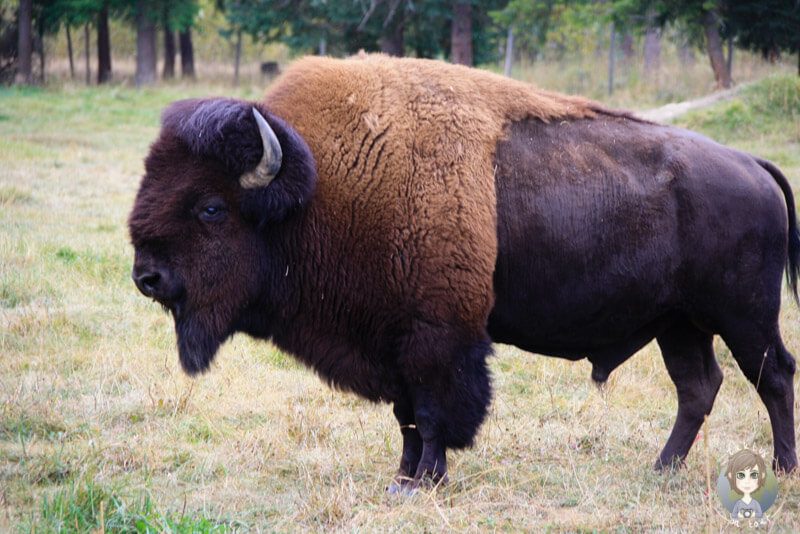Ein Buffalo im Wells Gray Provincial Park, Kanada