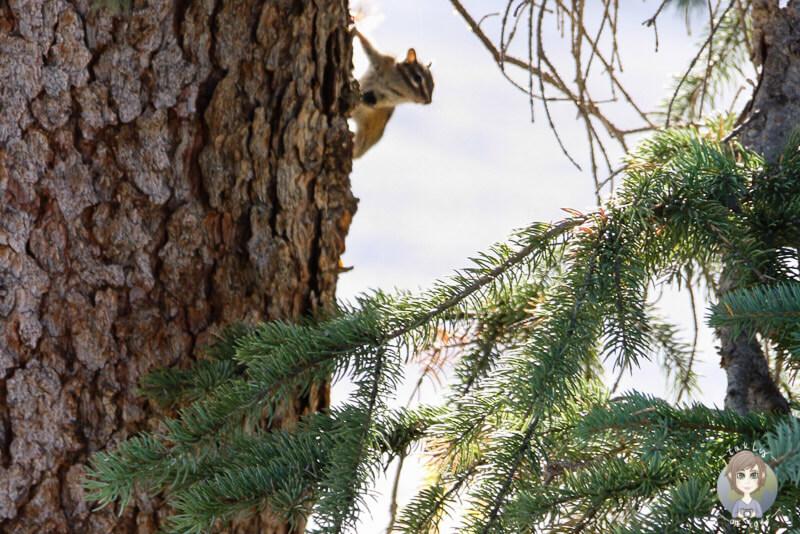 Ein Squirrel auf dem Campingplatz in Kanada
