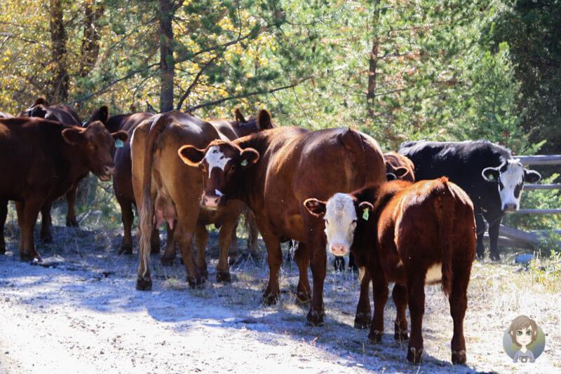 Kühe auf der Princeton-Summerland-Road, Kanada