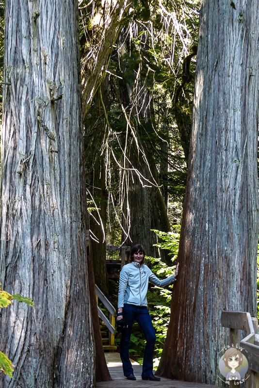 Riesige Bäume auf dem Giant Cedars Trail, Mount Revelstoke National Park, Kanada