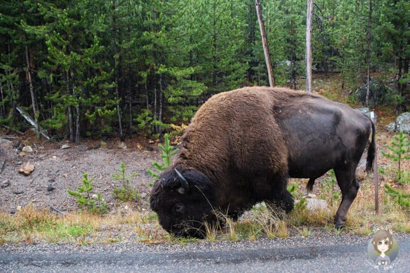 Ein Bison im Yellowstone National Park Wyoming, USA