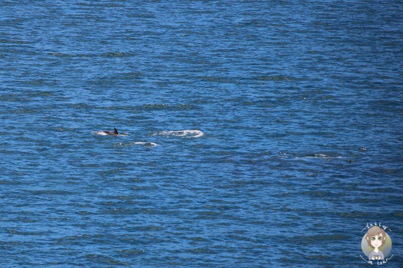 Delphine nahe Picton, Neuseeland
