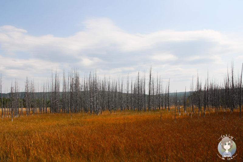 Die Steppe und verkohlten Bäume nach einem Feuer im Yellowstone Nationalpark