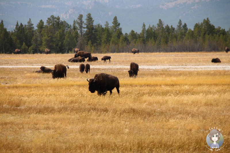 Bisonherde im Yellowstone National Park in Wyoming