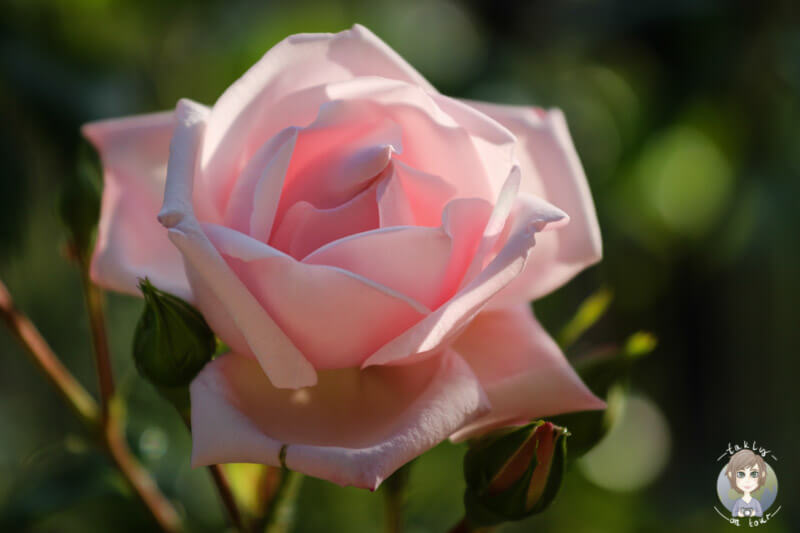 Rose, ein Zeichen als Dankeschön