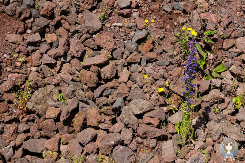 Blumen auf dem Gelände vom Volcan de Lemptegy