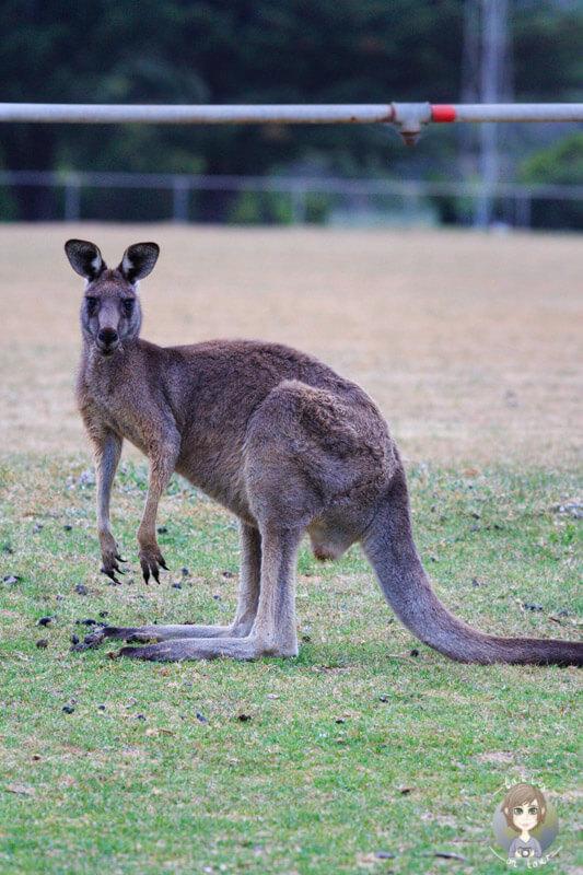 Ein Känguru auf dem Campingplatz an der Great Ocean Road