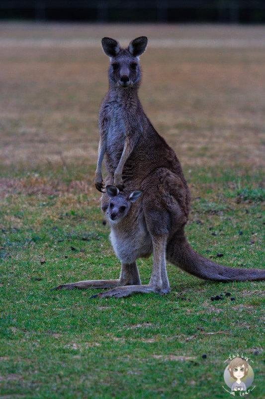 Ein Känguru mit seinem Jungen