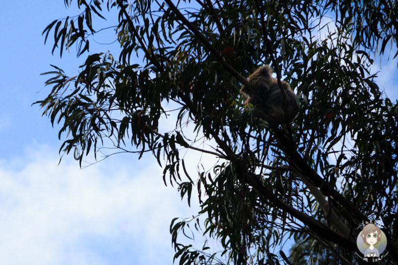 koalabaer-in-australien