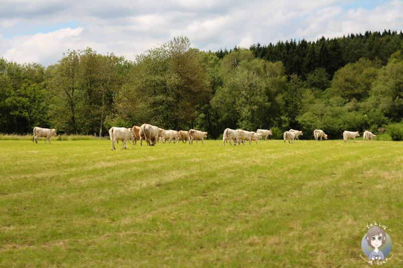 Rinder in der Auvergne